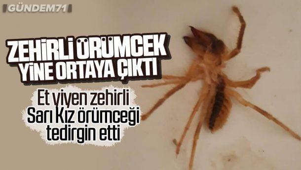 Zehirli Sarıkız Örümceği Yine Ortaya Çıktı