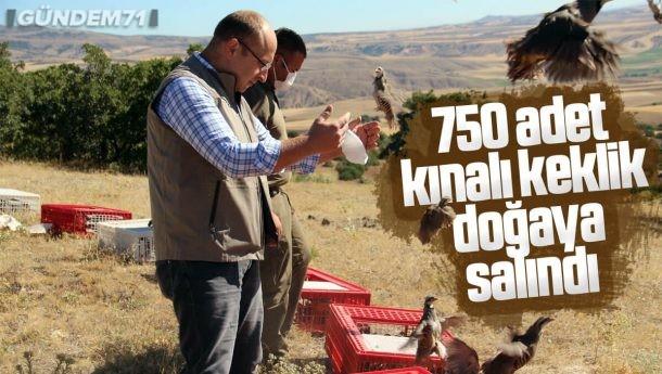 750 Adet Kınalı Keklik Doğaya Salındı
