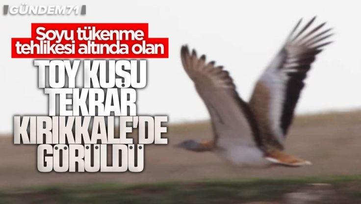 Toy Kuşu (Otis Tarda) Kırıkkale'de Tekrar Görüldü