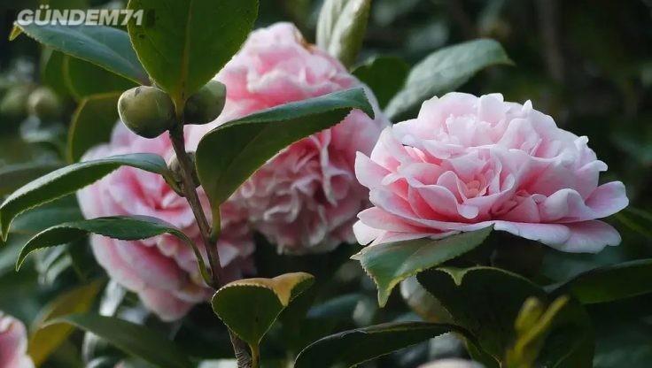 Kamelya Çiçeği Fiyatları ve Çeşitleri Şimdi Rüzgar Botanik'de!